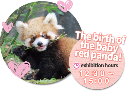 The birth of baby red panda exhibition time12:30-15:00