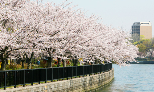 Information of Osaka's Cherry Blossoms